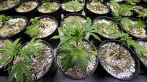 In Oregon, people can grow up to four marijuana plants per household.