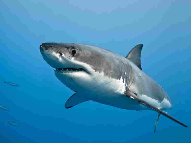 A great white shark in the Pacific Ocean near the coast of Guadalupe Island, Mexico.