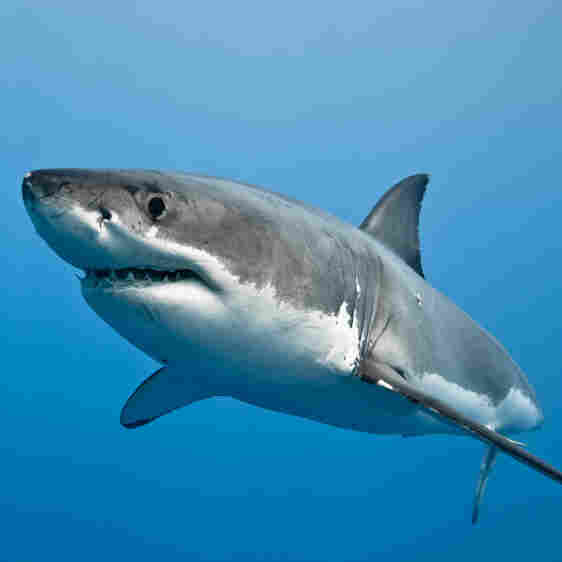 Great White Sharks And The Thrill Of Unseen Nature
