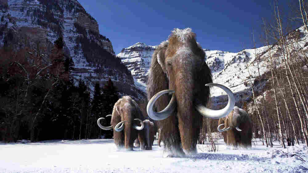 Checking DNA Against Elephants Hints At How Mammoths Got Woolly