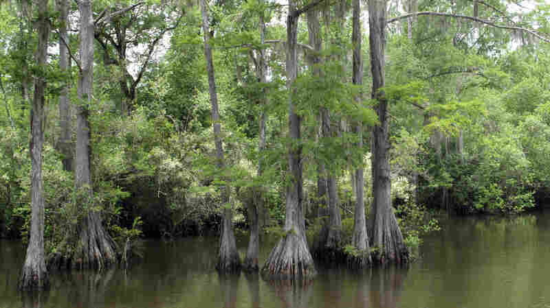 A cypress tree swamp in Byrnes Lake, part of the more than 200,000 acre Mobile Delta.   It's the most biologically diverse river delta system in the country.