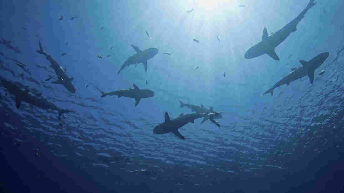 """The recent spate of attacks — seven since June in North Carolina alone — has little to do with the shark population off American coastlines. Shark attack, George Burgess says, """"is driven by the number of humans in the water more than the number of sharks."""""""