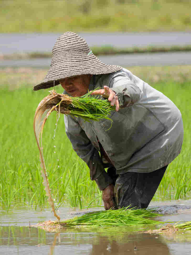 A woman replants paddy rice by hand in Bario, in the Kelabit Highlands of Malaysia. A logging road has brought many changes to the Kelabit people of the interior highlands of Sarawak in Malaysia, including more mechanized ways of growing rice.