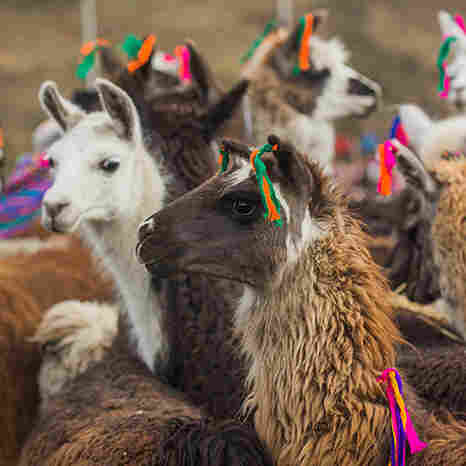 A woven tassel signifies that an alpaca has received its blessing.