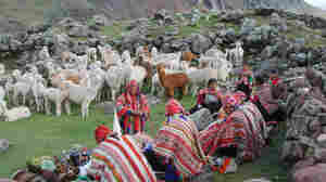 """Peru's alpacas are blessed once a year, during rainy season. The blessing declares: """"Let there be a great abundance of alpacas, so that the alpacas should be like the condor and appear to fly from one mountain to another."""""""