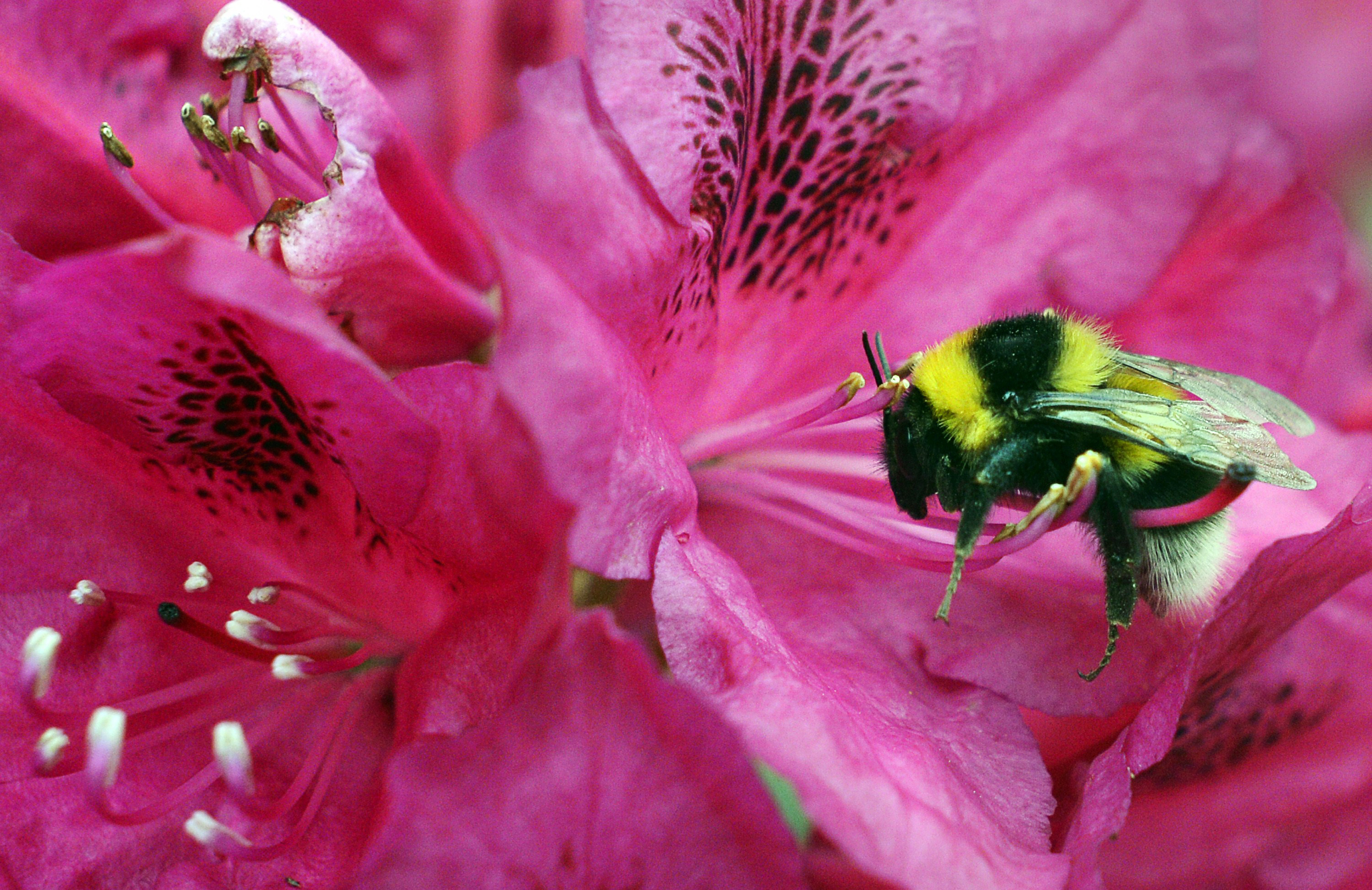 Buzz Kill For Bumblebees: Climate Change Is Shrinking Their Range