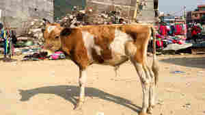 Kathmandu Is Cowed By Abandoned Cattle