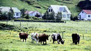 Does Iceland Need New Cows To Keep Up With Demand For Skyr?