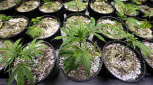 Its legal status and wide range of uses make marijuana a tough plant to regulate — or even to advise farmers about. Here, young marijuana plants are seen at a growing facility.