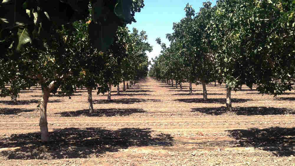 Pistachio trees in California's drought-stricken Central Valley.
