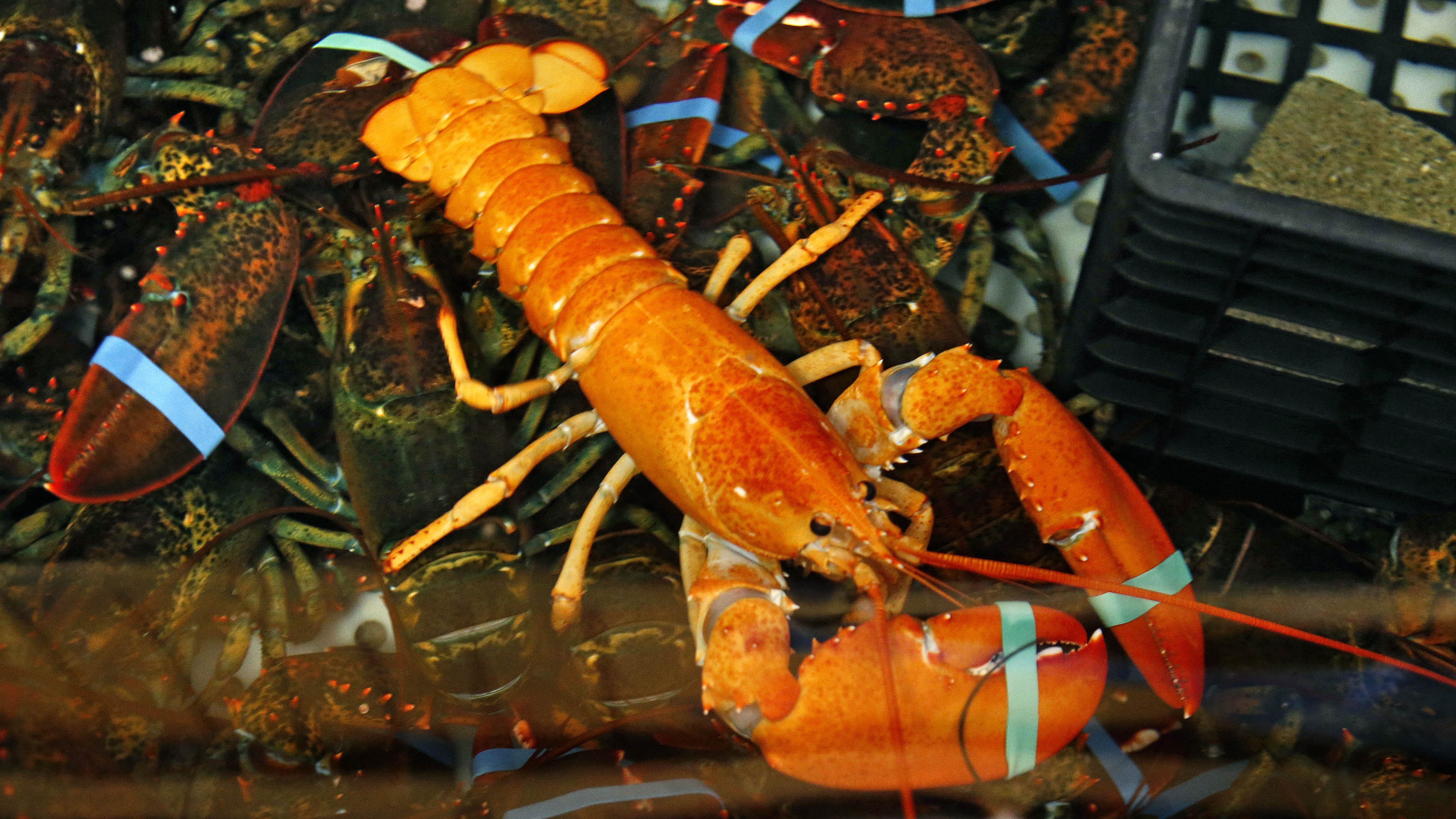 Maine Fisherman Catches His Second Rare Lobster