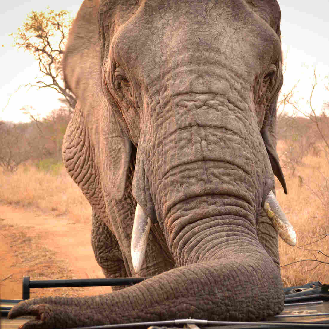 When Detecting Land Mines, The Nose Knows — Or, In This Case, The Trunk