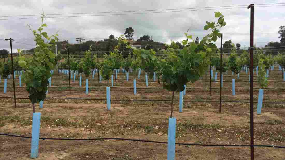 The price of water in San Diego County has more than doubled lately. But vineyards require 25 percent less water than citrus. As a result, the number of wineries in the county has tripled in recent years.