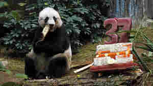 Giant panda Jia Jia eats bamboo next to her birthday cake made with ice and vegetables at Ocean Park in Hong Kong, on Tuesday.