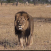 Investigation Underway Into Killing Of Cecil, Zimbabwe's Best Known Lion