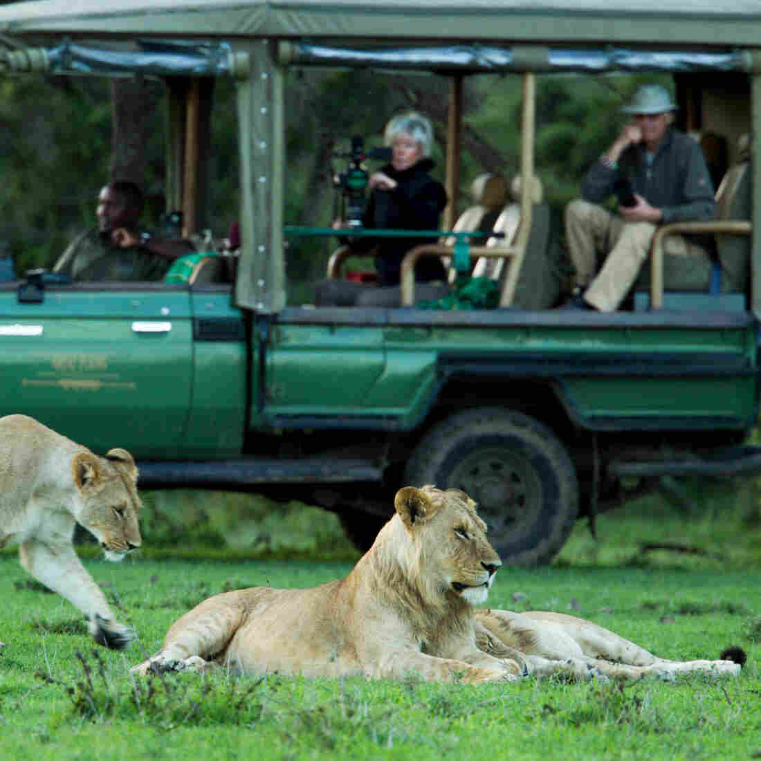 Tourists on safari watch three young lions in Kenya's Masai Mara National Reserve.