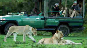 Tourists on safari watch three young lions in Kenya's Masai Mara National Reserve.