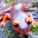 Scientists Urge Ban On Salamander Imports To U.S. To Keep Fungus At Bay