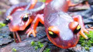 Scientists Urge Ban On Salamander Imports To U.S. To Keep Fungus At Bay
