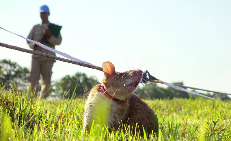 Victoria, a 2-year-old rat, sniffs for TNT, sticking her nose high in the air to indicate she's found some. She works her way down a 10-meter line with a handler on either end, and is able to detect the presence of TNT at a distance of approximately half a yard.