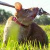 在柬埔寨,老鼠被训练嗅出地雷并挽救生命