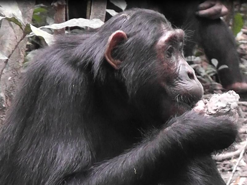 do chimpanzee have diet