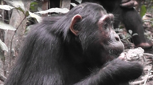 Humans Aren't The Only Ones To Go Ape Over Diets: Chimps 'Detox,' Too