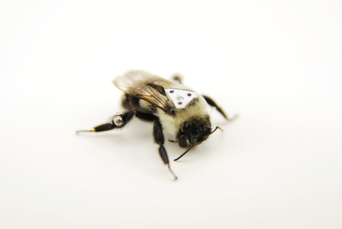 Heavy Loads Of Pollen May Shift Flight Plans Of The Bumblebee
