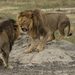 Jericho Isn't Cecil's Brother And Is Probably Still Alive, Lion Researcher Says