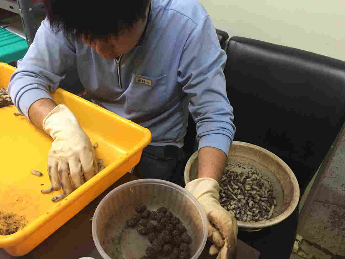 Kim Pil-Gi left his construction job in Seoul, South Korea, three months ago to raise grubs with his parents in the countryside.
