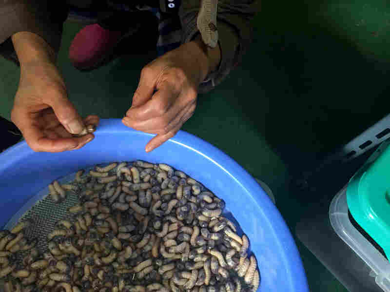 The larvae are used in traditional medicine — powdered or juiced. They're said to cure hangovers, clear the skin and improve kidney and liver function.