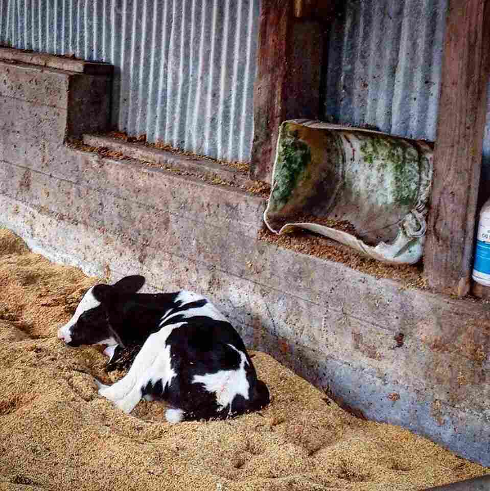 Most of the milk sold in the US comes from Holstein dairy cows that are born with horns. To protect animals and workers, it's standard practice for farms to remove horns from calves soon after they're born.