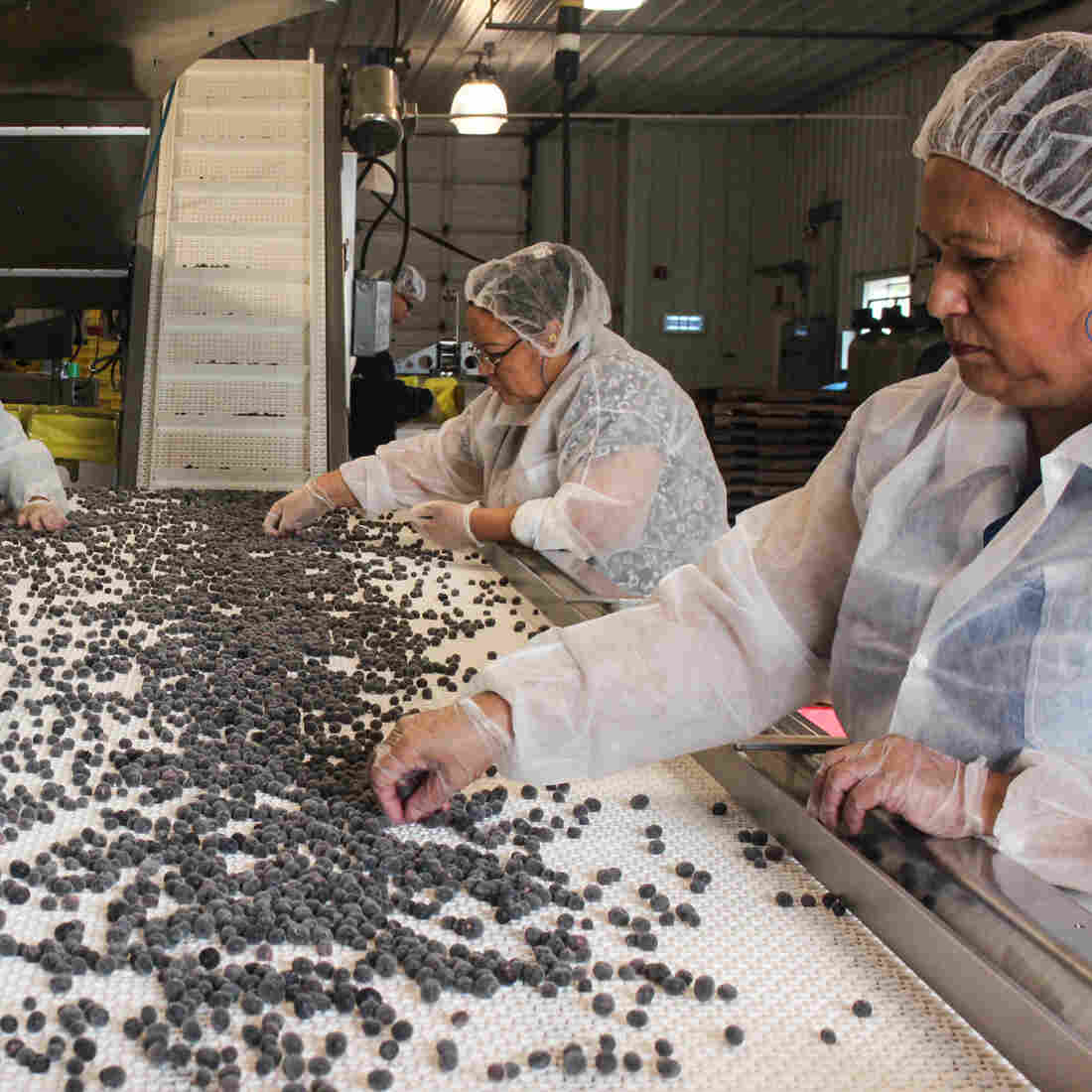 How New Jersey Tamed The Wild Blueberry For Global Production