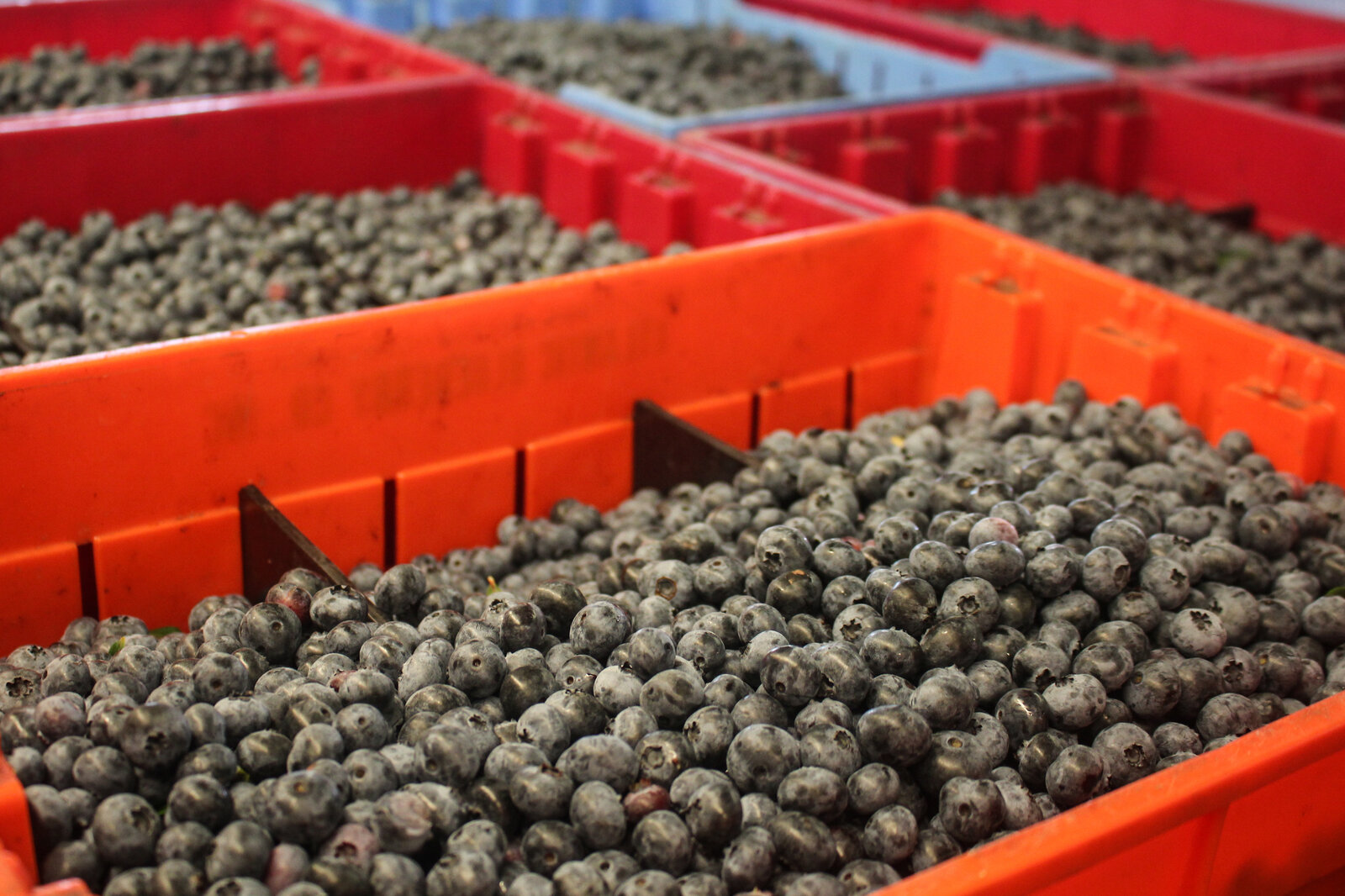Blueberries wait for processing at the Atlantic Blueberry Co. packing facility in Hammonton, N.J.