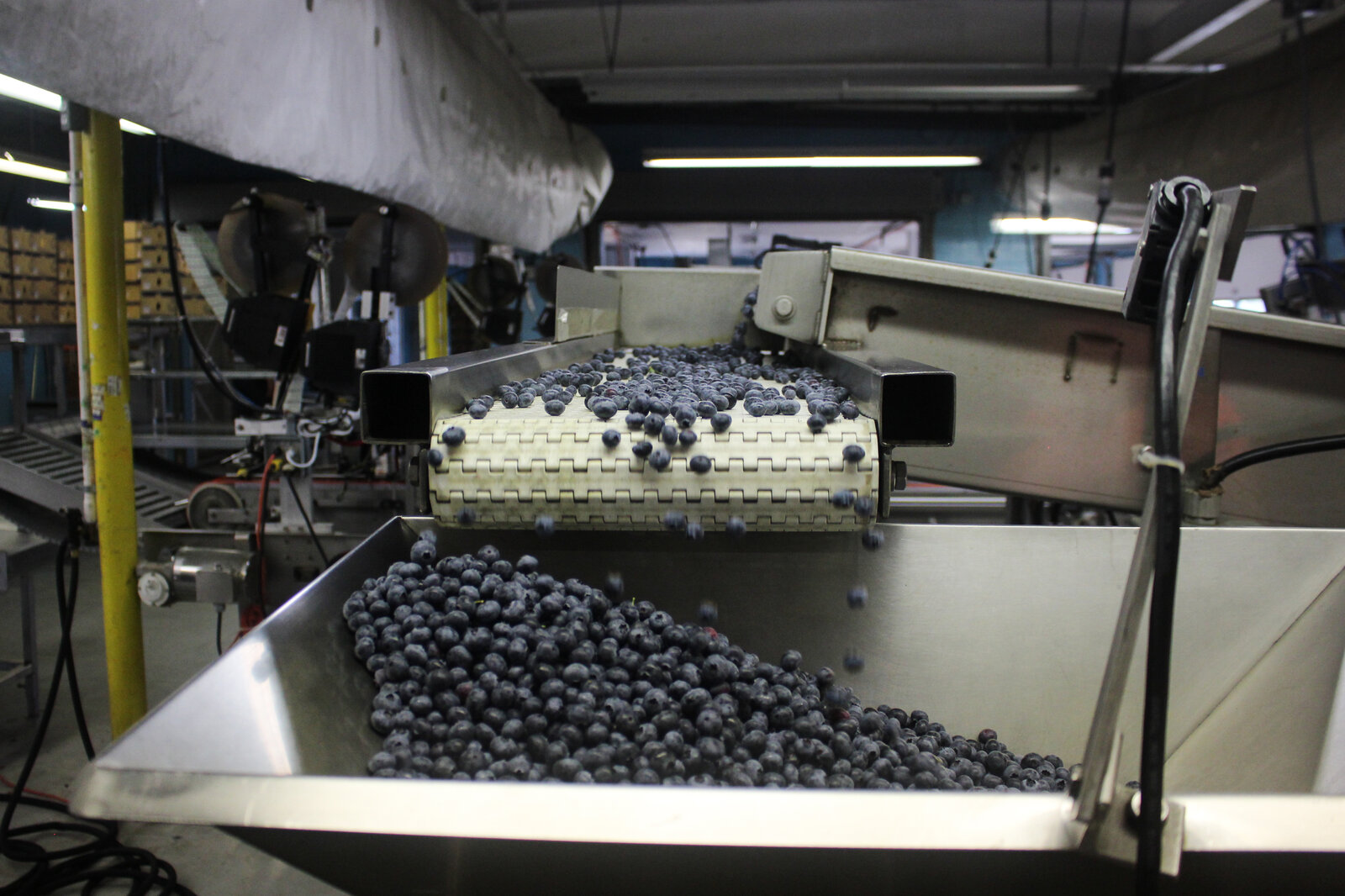 Part of the fresh blueberry packing line at the Atlantic Blueberry Co.