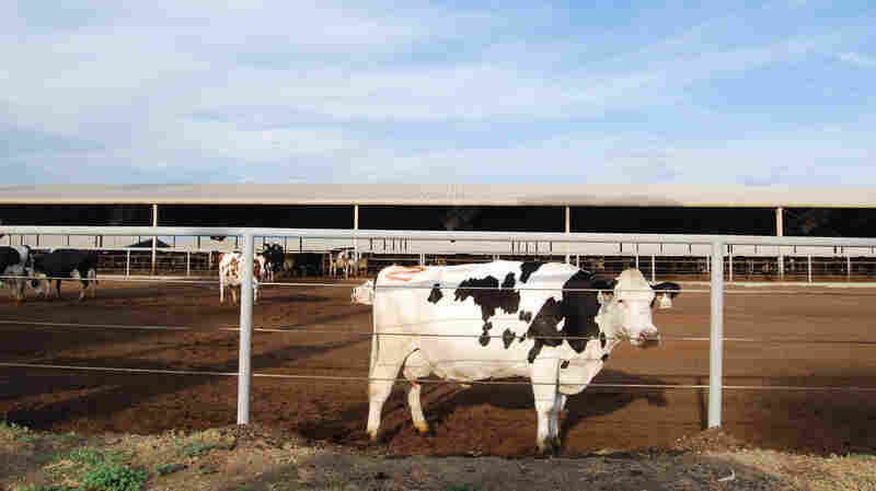 One of the hornless Holsteins at Steve Maddox's California dairy farm. Maddox is beginning to breed hornless cattle into his herd, but it's slow going.