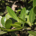 Here's The Buzz On America's Forgotten Native 'Tea' Plant