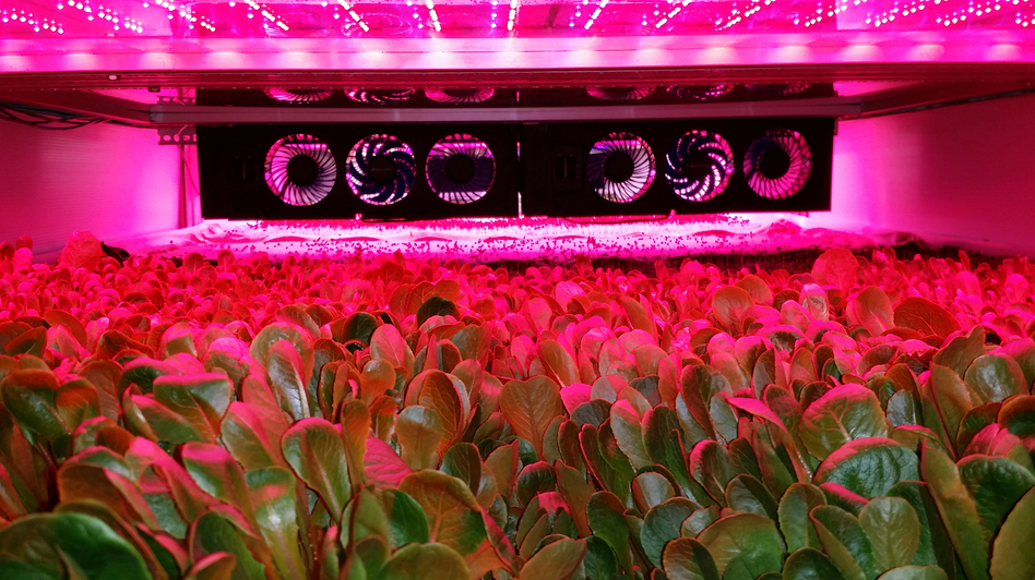 AeroFarms grows greens under intense LED grow lights, while their roots are bathed in a nutrient-rich mist. (Courtesy of AeroFarms)