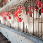 Judge Strikes Down Idaho 'Ag-Gag' Law, Raising Questions For Other States