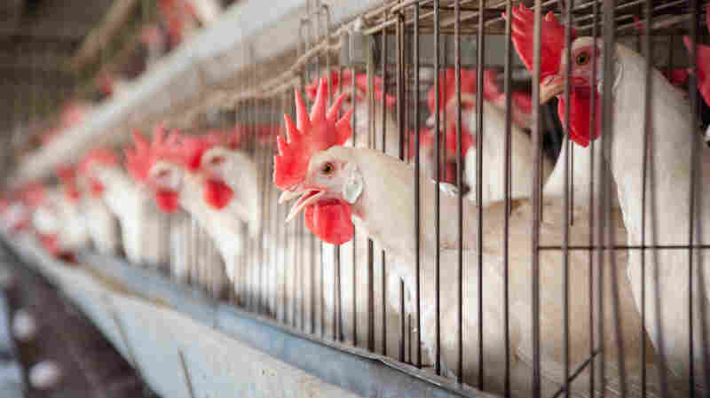 Laws in Montana, Utah, North Dakota, Missouri, Kansas, Iowa and North Carolina have also made it illegal for activists to smuggle cameras into industrial animal operations.