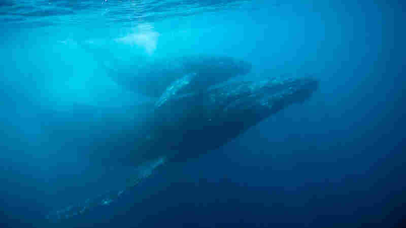 It Took A Musician's Ear To Decode The Complex Song In Whale Calls