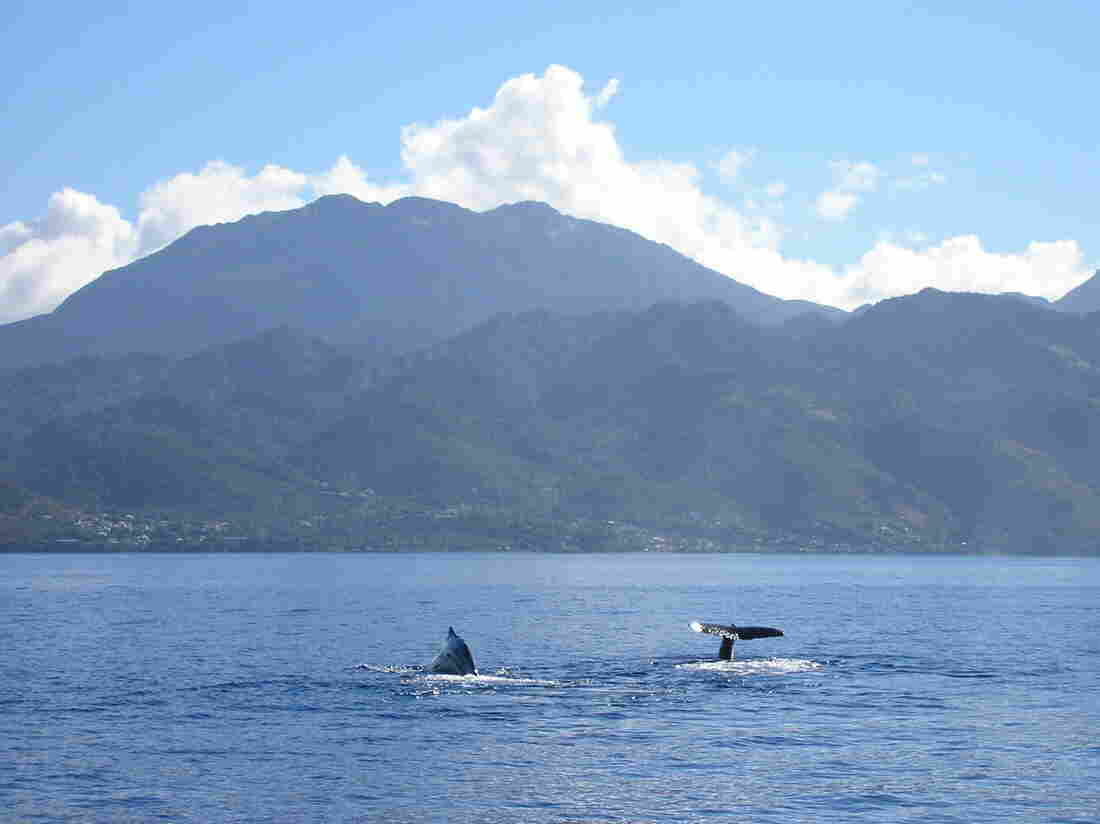 """Two sperm whales, members of a social unit named """"The Group of Seven,"""" begin a dive together in the deep waters close to Dominica, West Indies."""