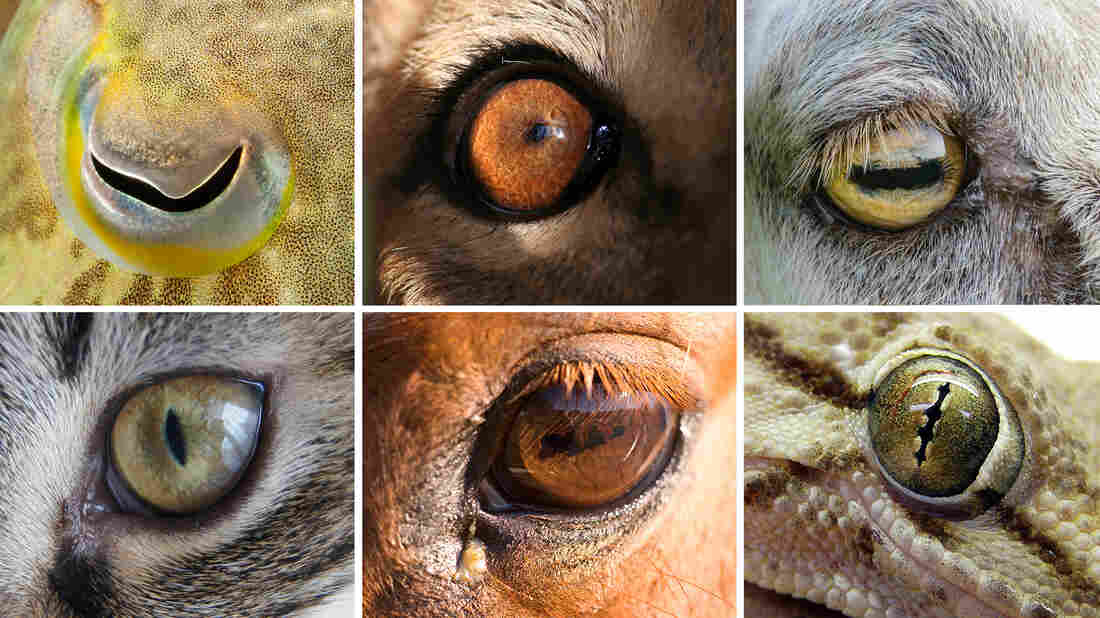 Can you guess which eyes belong to what animal? Top row, from left: cuttlefish, lion, goat. Bottom row, from left: domestic cat, horse, gecko.