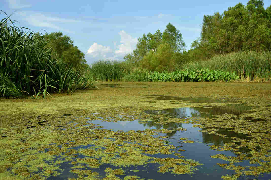 In the past decade, freshwater and sediment diverted from the nearby Mississippi River have turned what once was an open bay into a thriving wetlands area. Local environmental groups have planted thousands of cypress trees, attempting to create a marsh that will help absorb storms that pass through.