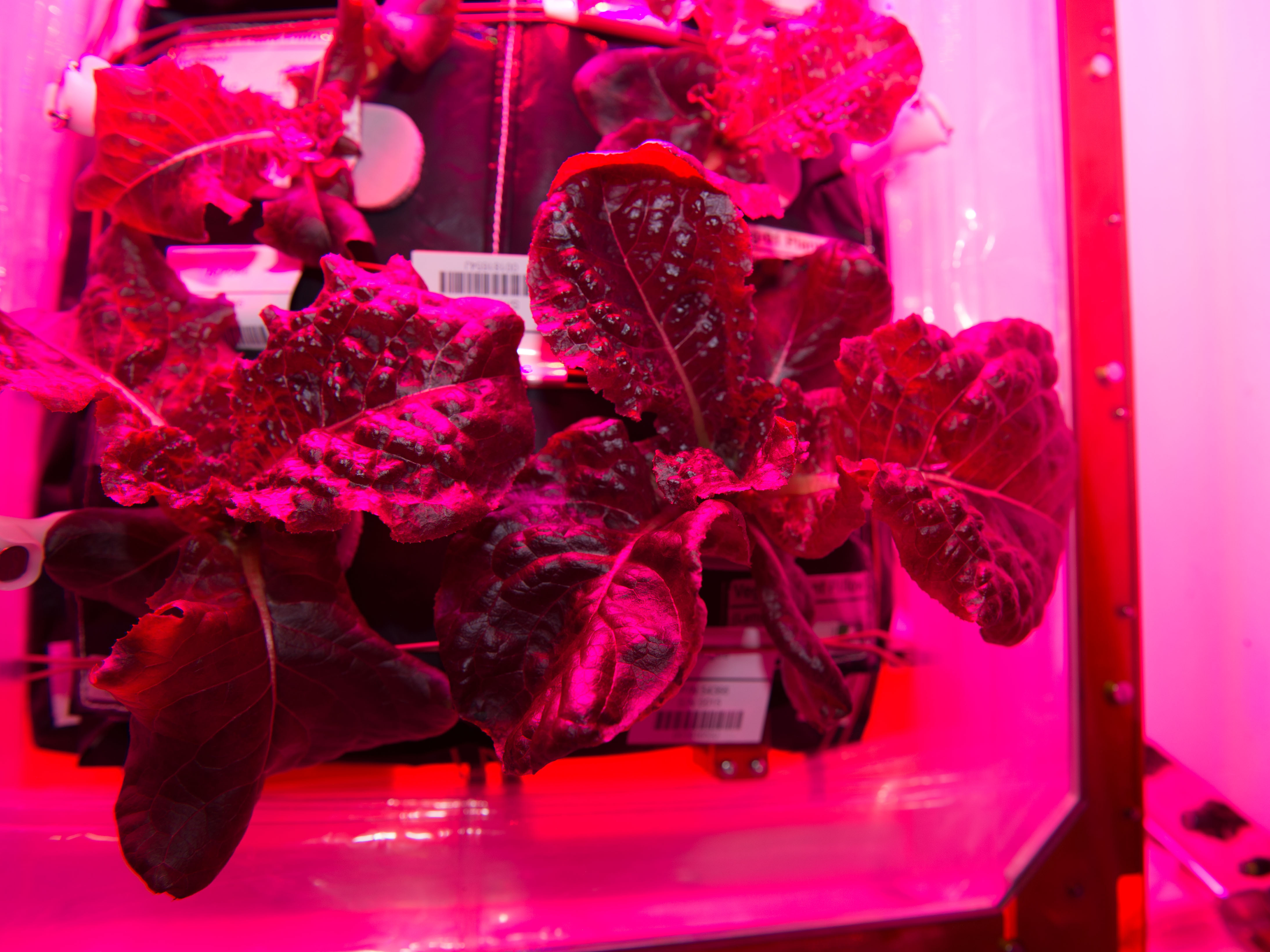 This Salad Is Outta This World: Astronauts Eat Greens Grown In Space