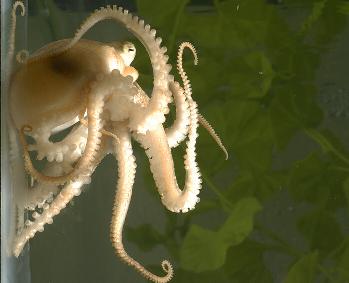 A juvenile California two-spot octopus (Octopus bimaculoides).