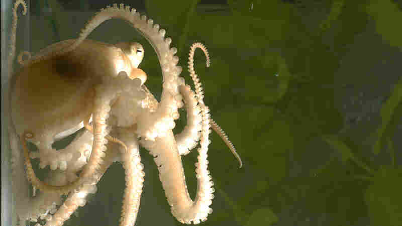 Octopus Genome Offers Insights Into One Of Ocean's Cleverest Oddballs