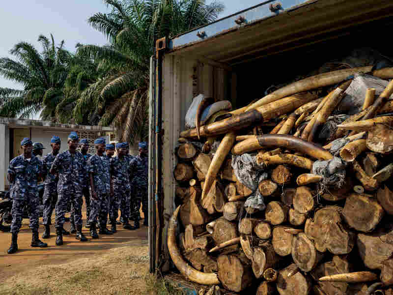 In January 2014, while X-raying a Vietnam-bound container declared to hold cashews, Togolese port authorities saw something unexpected: ivory. Eventually, more than 4 tons were found, Africa's largest seizure since the global ivory trade ban took effect in 1990. DNA suggests that some of the ivory is from elephants killed in May 2013 at Dzanga Bai in the Central African Republic.