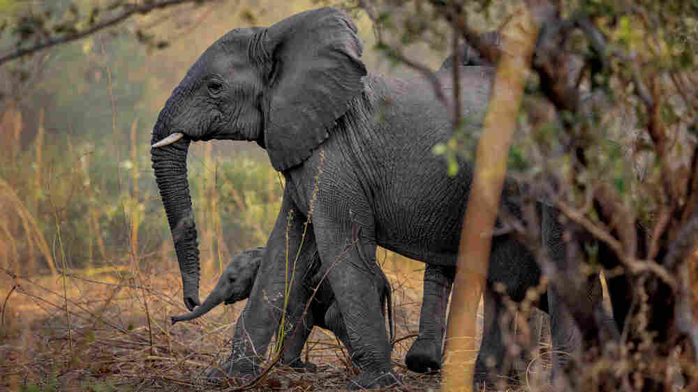 GPS Trackers In Fake Elephant Tusks Reveal Ivory Smuggling Route