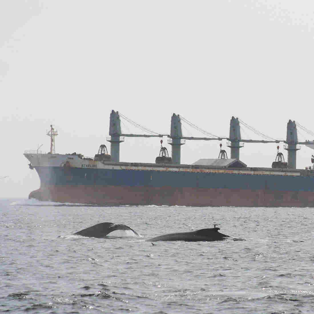 Listening To Whale Migration Reveals A Sea Of Noise Pollution, Too